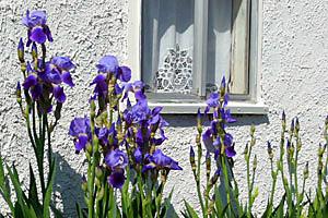 Springtime Irises at the San Antonio Genealogical and Historical Society in San Antonio, Texas